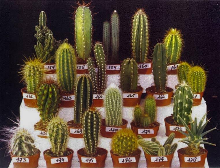 называется голландские кактусы виды кактусы микс довольно