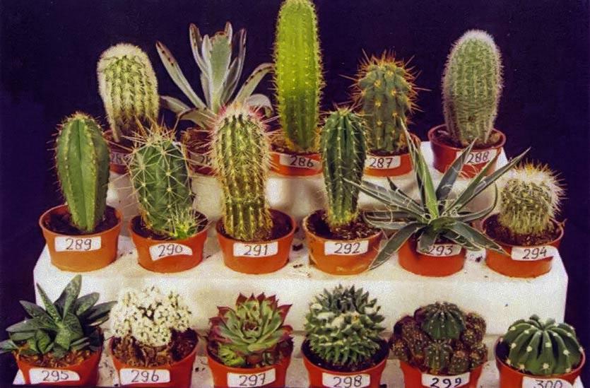 чтобы никогда голландские кактусы виды кактусы микс могут