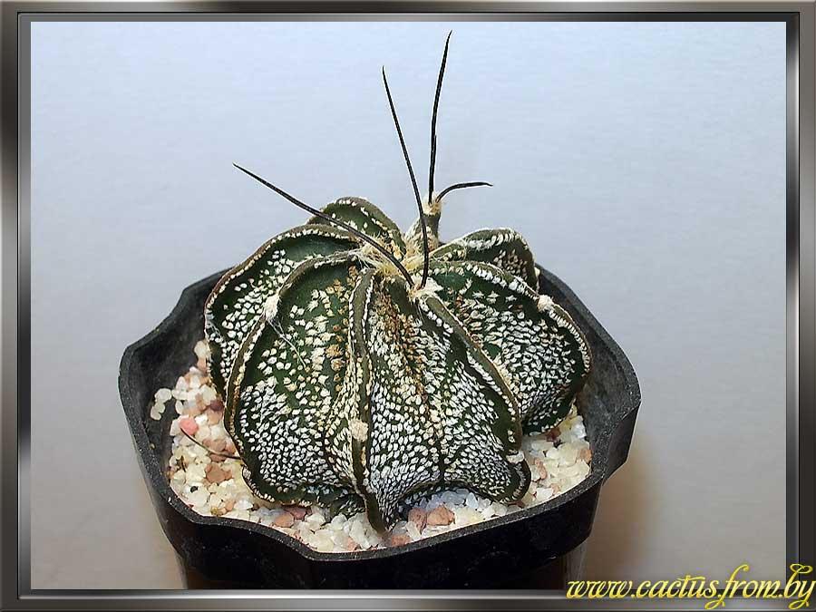 Astrophytum capricorne (A. Dietrich) Britton & Rose 1922