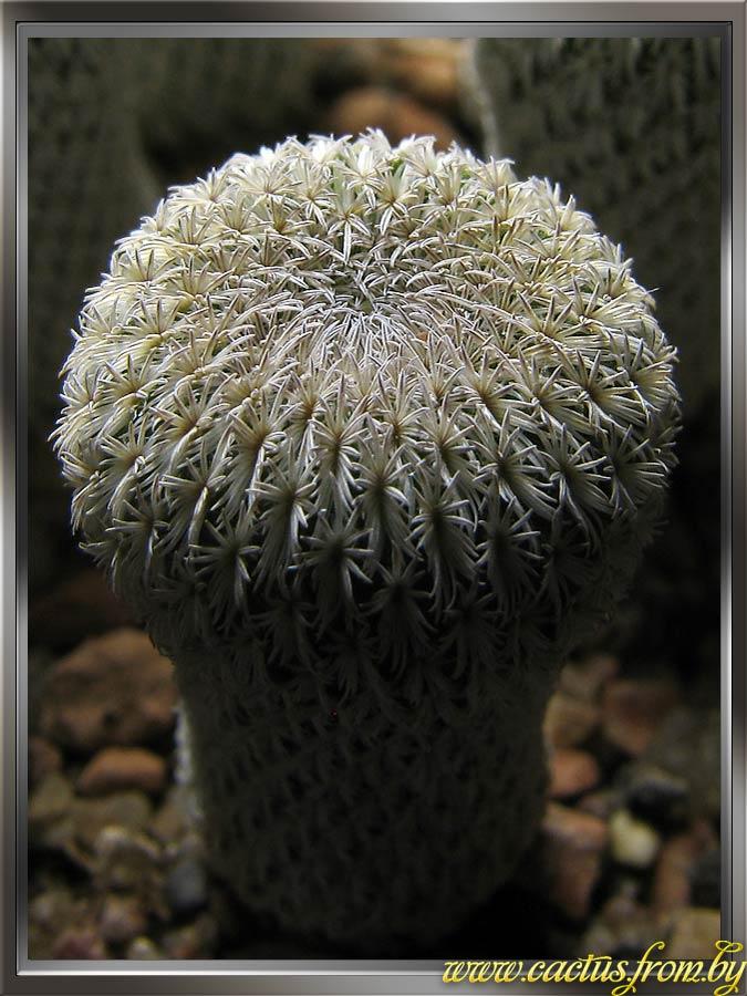 Epithelantha micromeris f. densispina