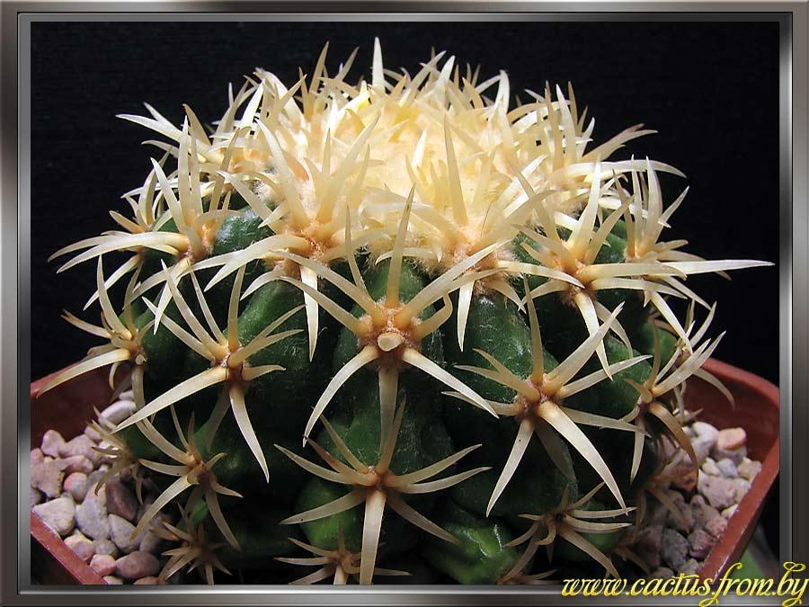 Echinocactus grusonii f. intermedia