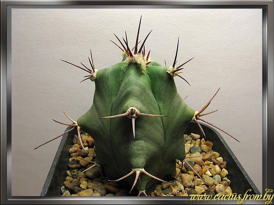 Echinocactus platyacanthus Link & otto 1827