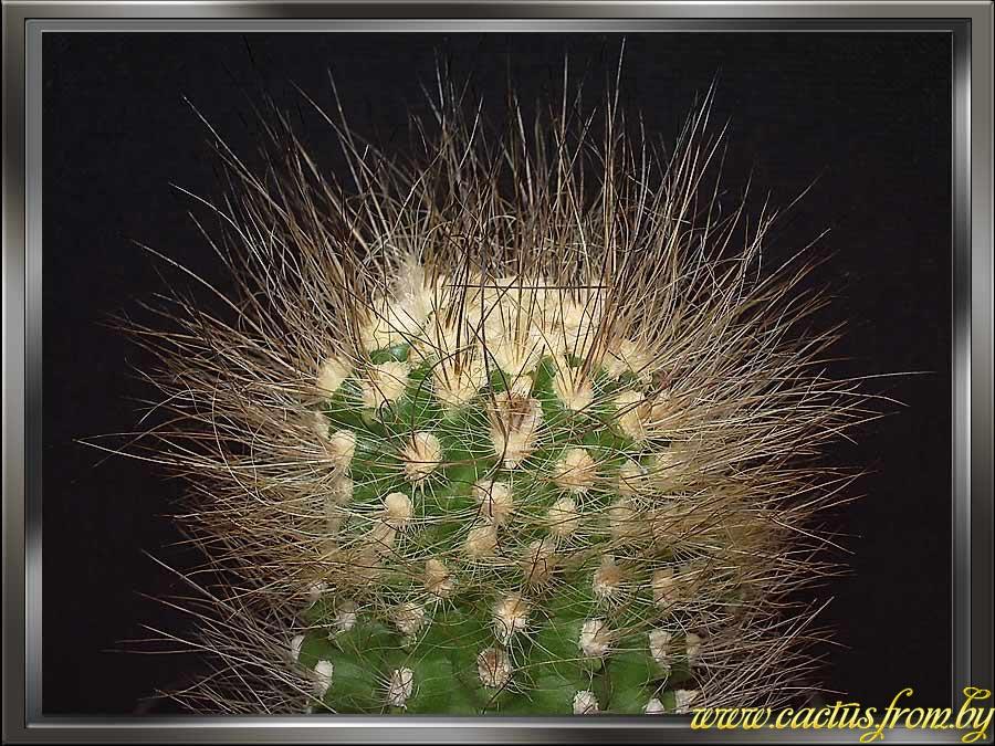 Eriosyce villosa (Monville) Kattermann 1994