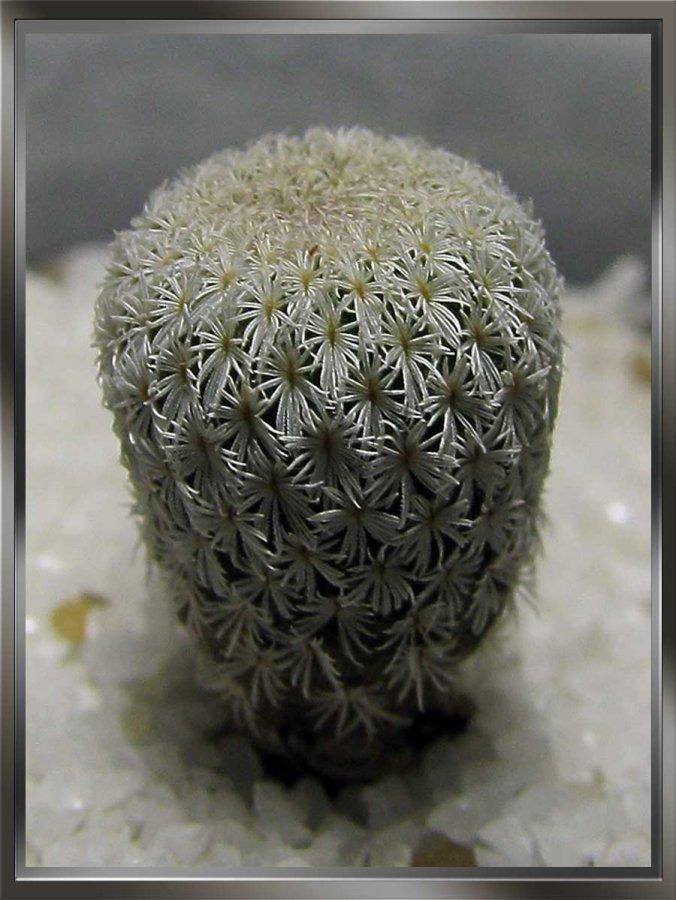 Epithelantha micromeris subsp. polycephala (Backeberg) Glass 1998