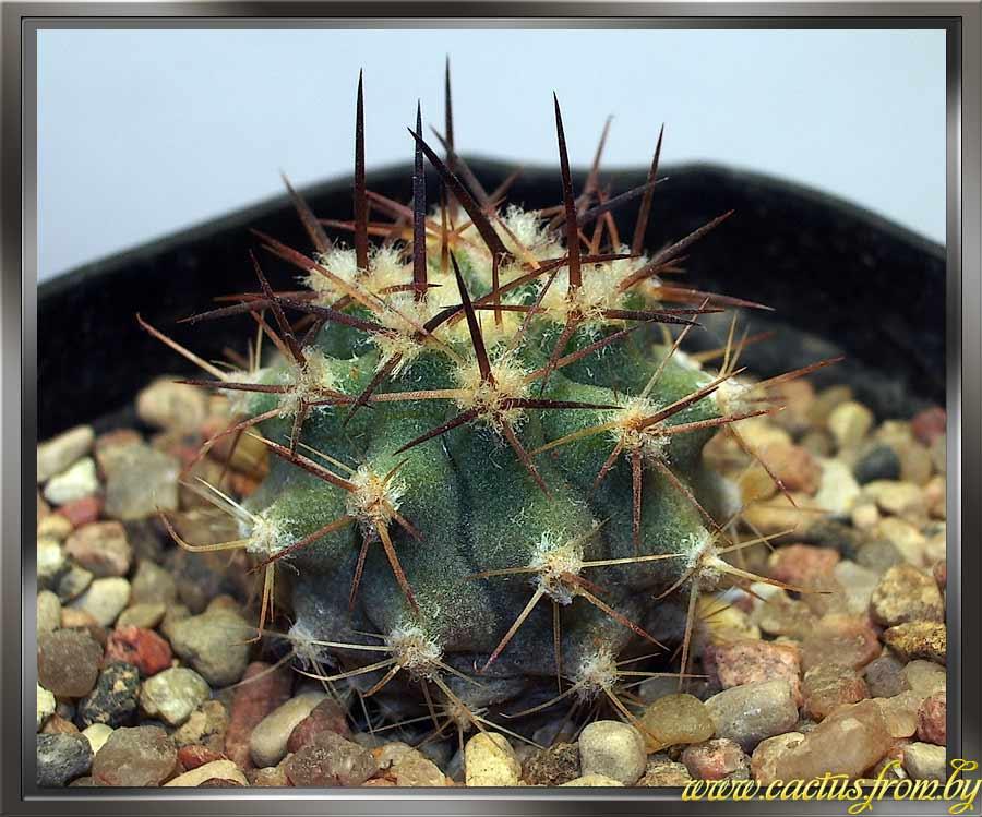 Eriosyce aurata (Pfeiffer) Backeberg 1936 f. ceratistes