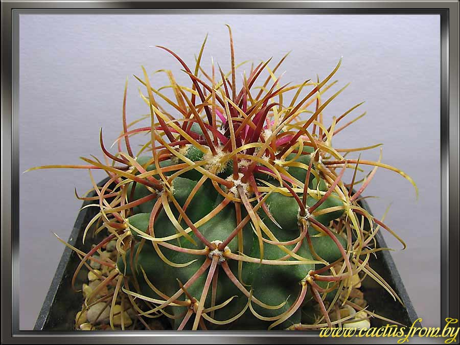 Ferocactus eastwoodiae (L.. D. Benson) L. D. Benson 1982