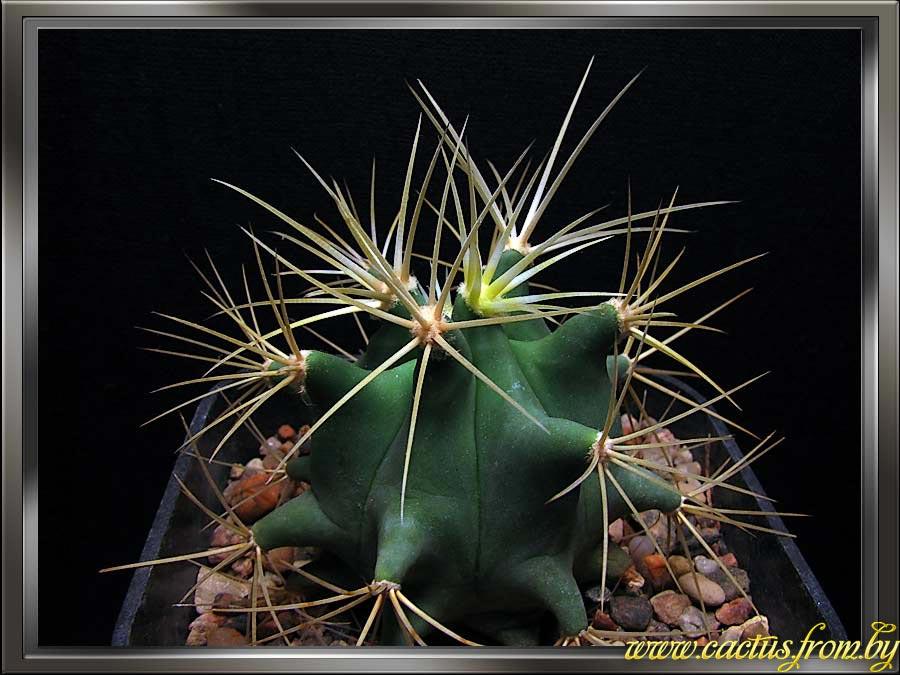 Ferocactus glaucescens (A. P. de Candolle) Britton & Rose 1922