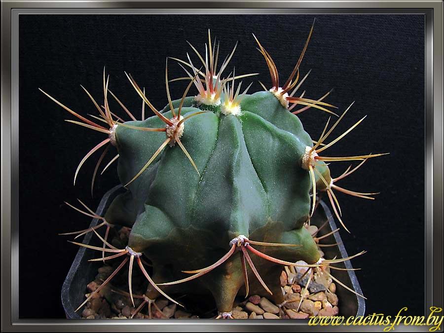 Ferocactus histrix (A. P. de Candolle) G. E. Lindsay 1955