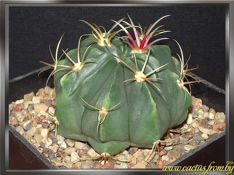 Ferocactus macrodiscus (Martius) Britton & Rose 1922