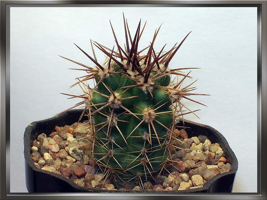 Gymnocalycium monvillei subsp. horridispinum (G. Frank ex H. Till) H. Till 1993