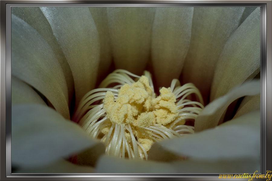 Gymnocalycium quehlianum