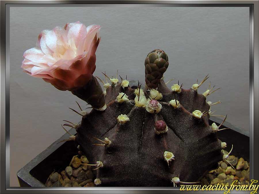 Gymnocalycium mihanovichii (Fric ex Gurke) Britton & Rose 1922
