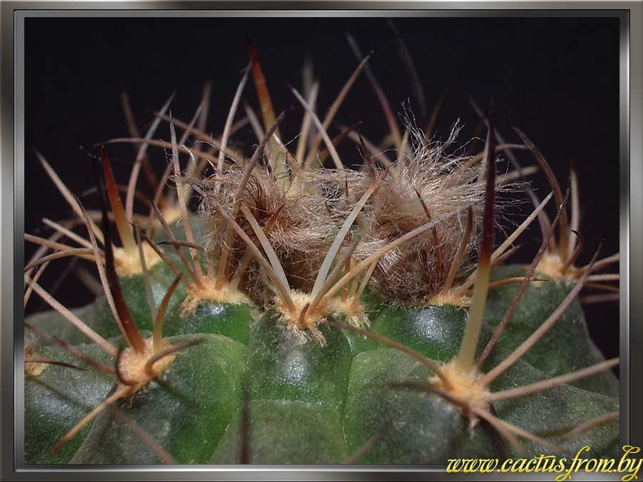 Matucana oreodoxa (F. Ritter) Slaba 1986