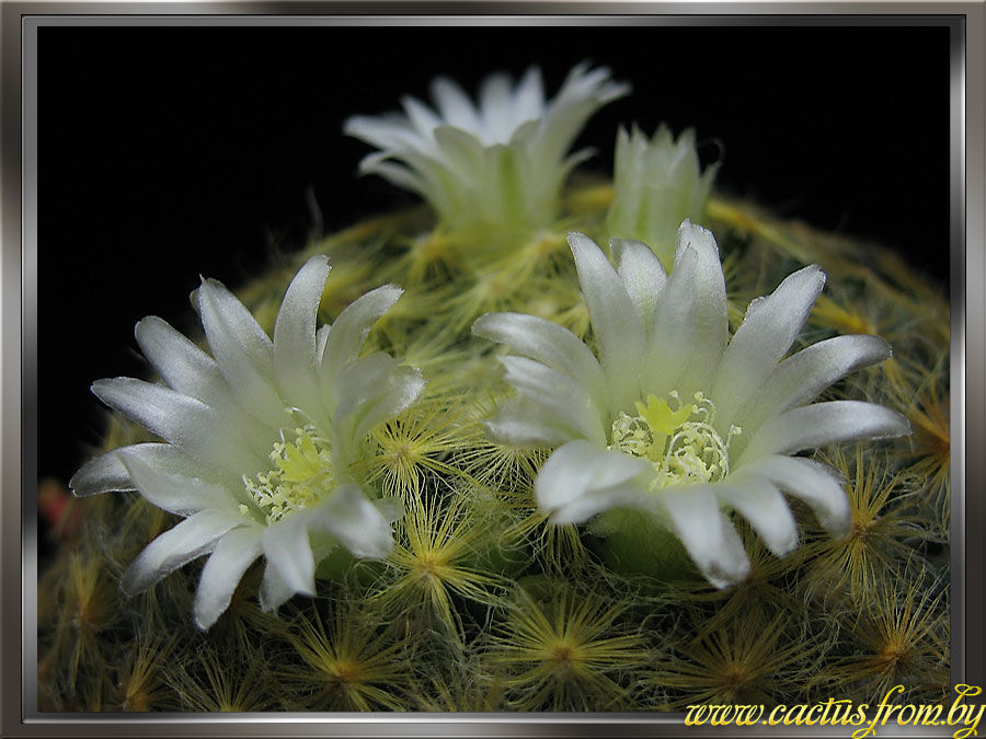 Mammillaria schiedeana Ehrenberg 1838