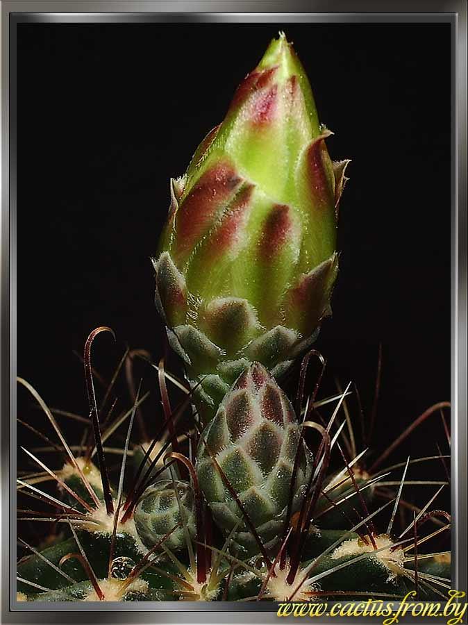 Thelocactus setispinus (Engelmann) E. F. Anderson