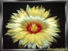 Astrophytum capricorne (A. Dietrich) Britton & Rose 1922 f. major