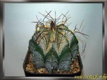 Фотография Astrophytum capricorne (A. Dietrich) Britton & Rose 1922