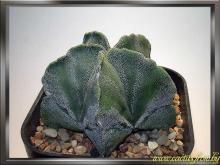 Astrophytum myriostigma Lemaire 1839