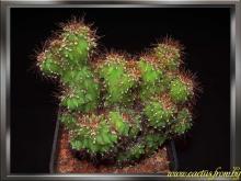 Cereus repandus (Linnaeus) P. Miller 1768 f. peruvianus sf. monstrosus