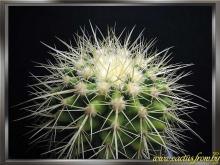 Echinocactus grusonii Hildmann 1891