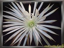 Echinopsis mirabilis Spegazzini 1905