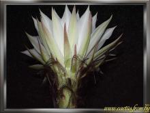 Echinopsis subdenudata Cardenas 1956