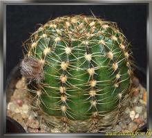 Echinopsis ancistrophora subsp. arachnacantha (Buining & F. Ritter) Rausch 1977