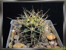 Ferocactus chrysacanthus (Orcutt) Britton & Rose 1922