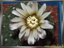 Gymnocalydum striglianum Jeggle ex H. Till 1987