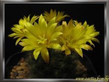 Mammillaria baumii Boedeker 1926