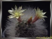 Mammillaria schwarzii Shurly 1949