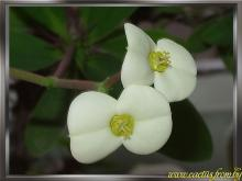 Euphorbia milii (Молочай Миля)