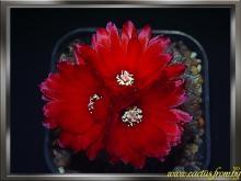 Parodia microsperma (F. A. C. Weber) Spegazzini 1923 f. sanguiniflora