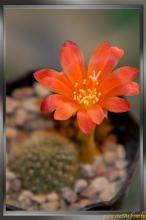 Rebutia minuscula f. grandiflora
