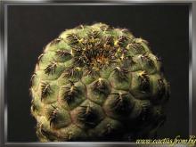 Rebutia canigueralii Cardenas 1964 f. rauschii