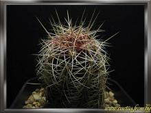 Thelocactus bicolor (Galeotti ex Pfeiffer) Britton & Rose 1922