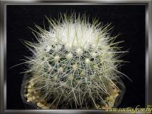 Thelocactus macdowellii (Rebut ex Quehl) Glass 1969