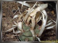 Tephrocactus articulatus (Pfeiff.) Backeb. 1953 f. papyracanthus
