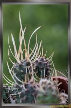 Tephrocactus articulatus f. papyracanthus