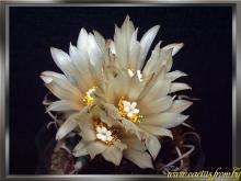 Turbinicarpus sp.